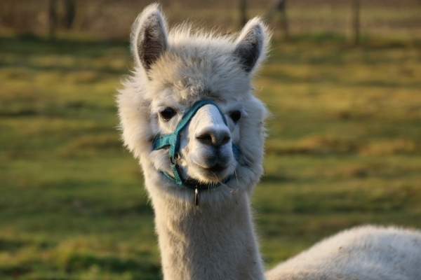 How keeping alpacas can help you diversify and monetise your land